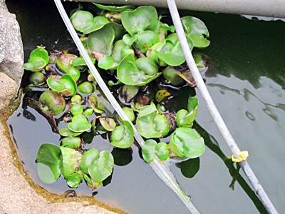 鯉の池のホテイ 二 五九