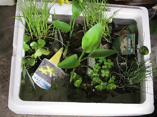 水生植物 アップ 五十三
