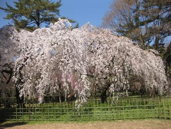 御所糸桜2