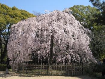 御所出水の桜