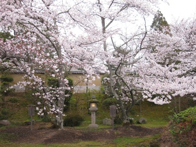 東大寺本坊 桜