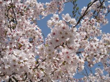 インクライン 桜の花