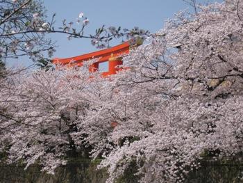 平安神宮鳥居と桜