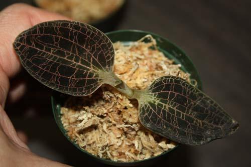 ドッシニア マルモラータ Dossinia marmorata 東海 岐阜 熱帯魚 水草 観葉植物販売 Grow aquarium