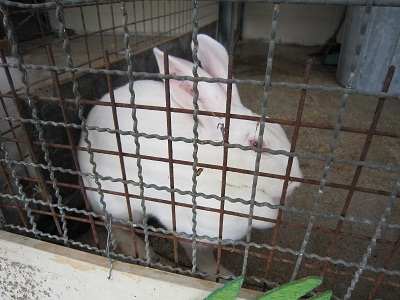 ジャイアントウサギ