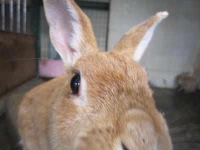 普通のウサギ
