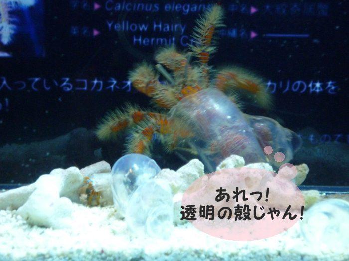 透け透けの殻なの! ちゅら海で作ったみたいなの!