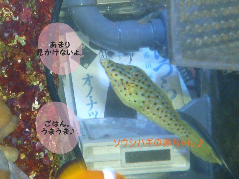 またまた 変わった魚? 知ってる??