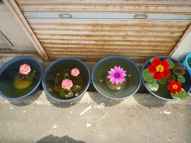 ウチの睡蓮たちも 見事に開花してます!!
