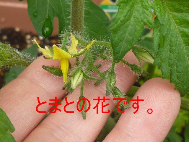 トマトの苗に 花着いた!