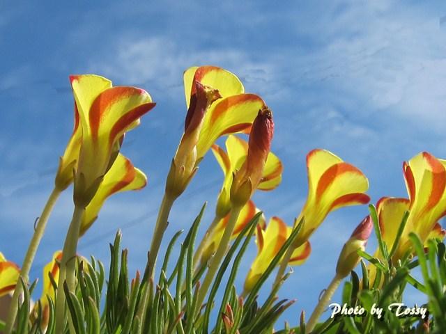 オキザリス ナマクエンシス(黄と赤)