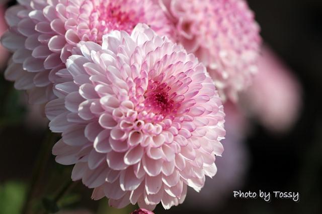 ポンポン咲きの小菊
