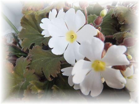 2012-03-01 庭の花 014