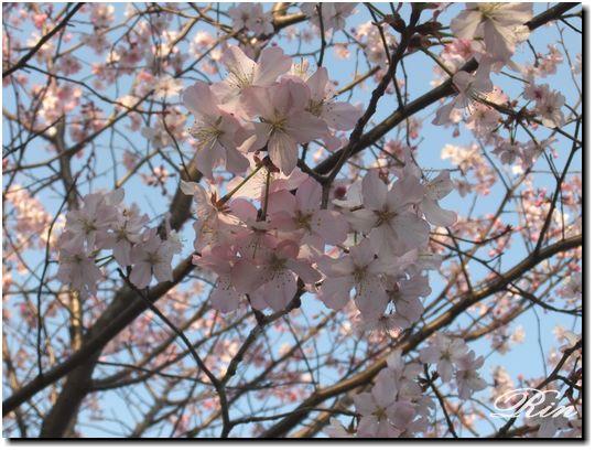 可愛い桜♪