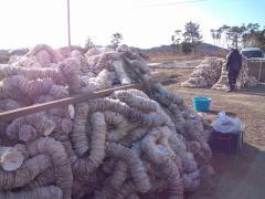 カキの養殖下準備用のホタテの貝殻