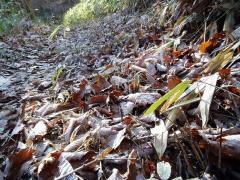 霜の降りた葉っぱの上を歩く
