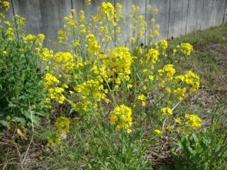 鮮やか菜の花
