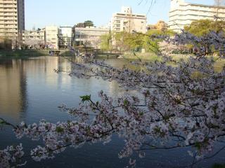 桜散りかけ