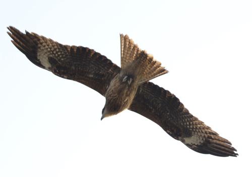 09・優雅に飛ぶ鳶