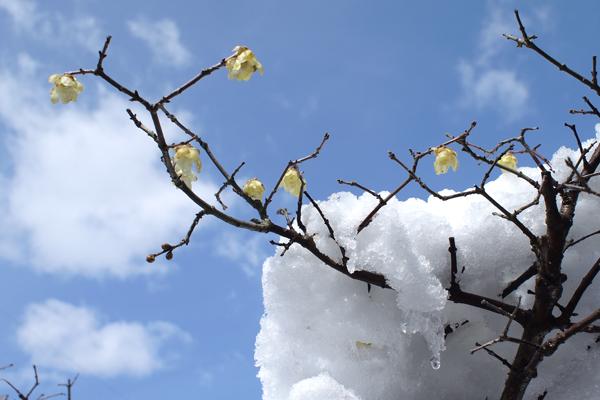 06・雪とロウバイ