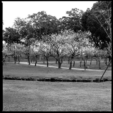 01・まだ梅が咲く奈良公園