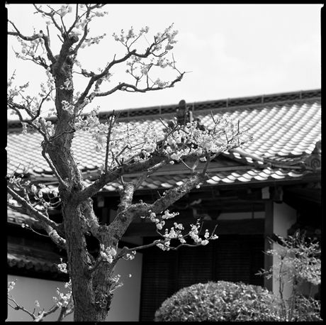 17・寳珠院の梅