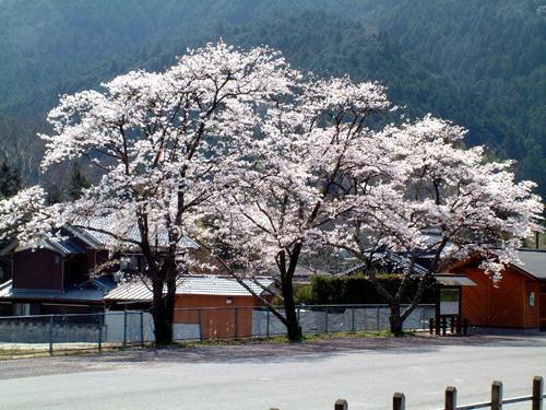 05・奥津駅前の桜