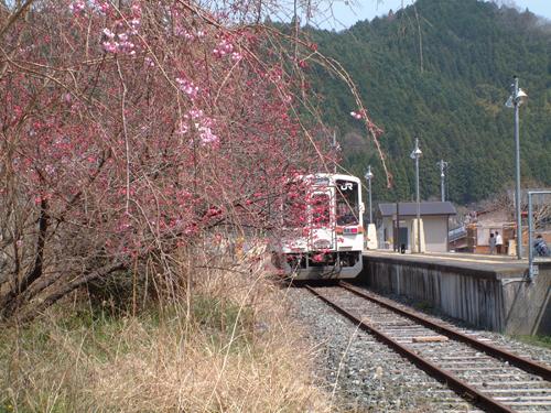 09・キハ11としだれ桜