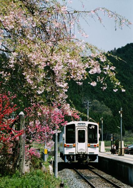 19・しだれ桜(伊勢奥津)