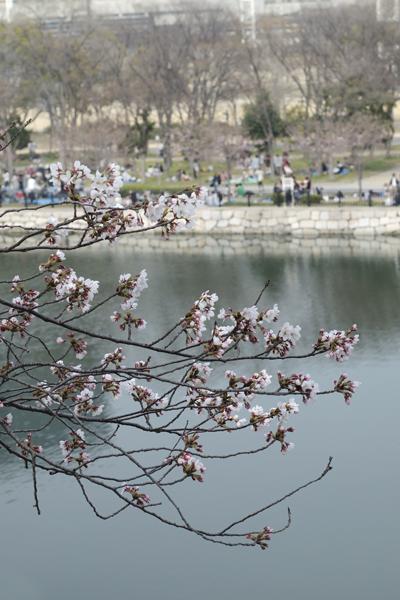16・お堀の桜