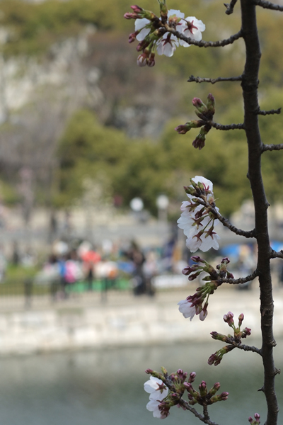 18・お堀の桜