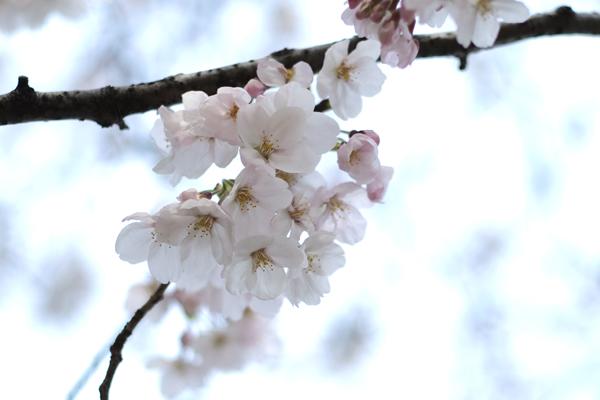 21・普通に撮った桜