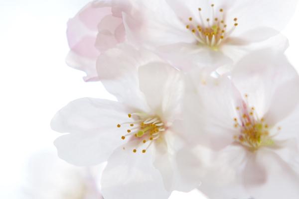 22・明るく写した桜