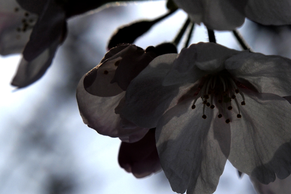 23・これも桜だよ