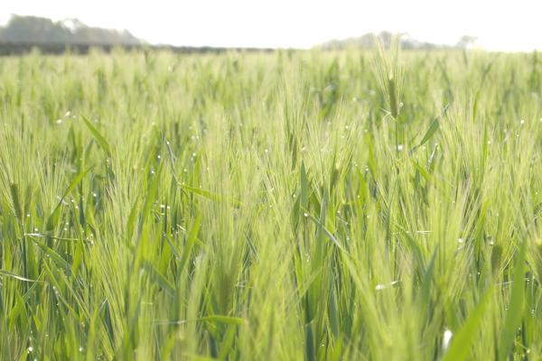 04・朝露ひかる麦畑