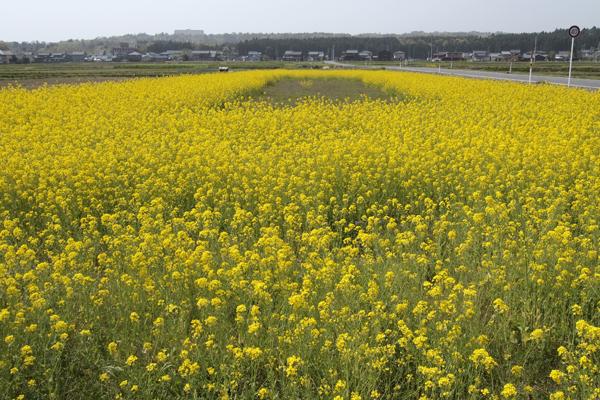05・菜の花畑