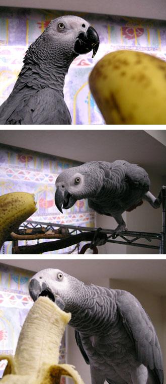 バナナとヨウムたち