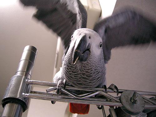 羽を広げるChloe