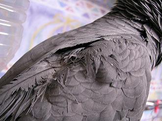 Jean-Luc背中の囓られた羽根