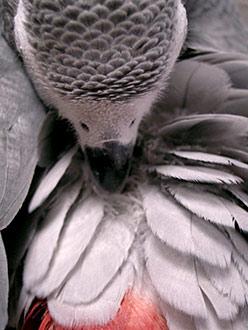 羽繕いするJean-Luc背中から-1