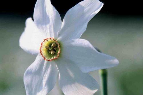 3)ナルシスの花+のコピー_convert_20110425110944