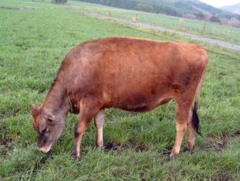 ジャージー牛1