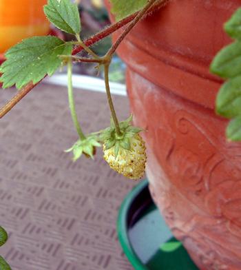 黄色のワイルドストロベリー