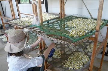 カモミールを乾燥させる