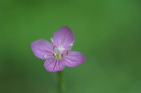 ピンクの花♪