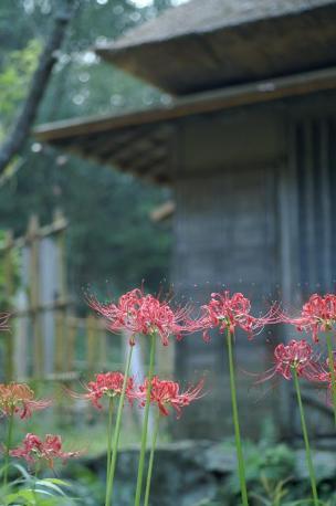 黄葉亭の前の彼岸花