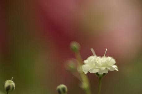 カスミソウ・・・後はお花♪