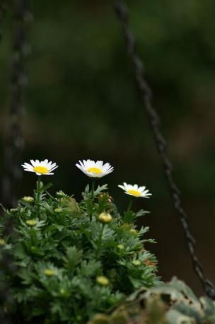 ノースポール…色んな所に咲くんですよね♪