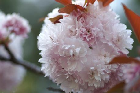 宗堂桜・・・おだんごみたい♪