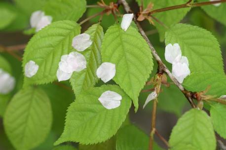 桜の新緑と花びら♪